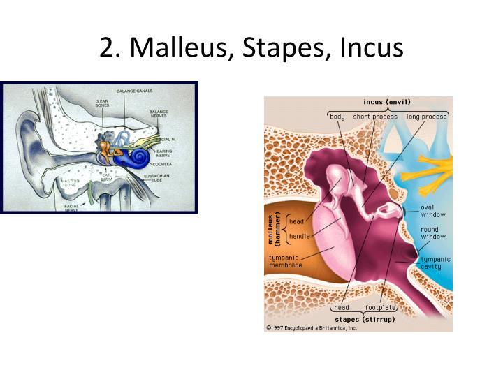 2. Malleus, Stapes, Incus