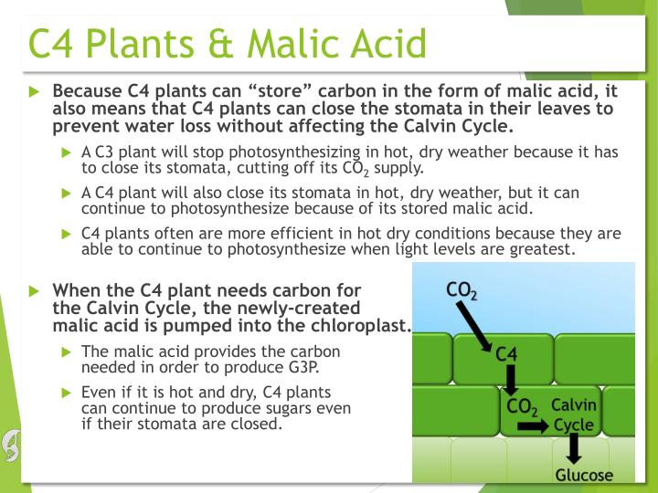 C4 Plants & Malic Acid