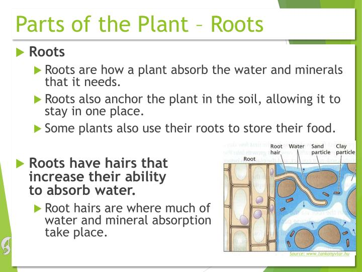 Parts of the Plant – Roots