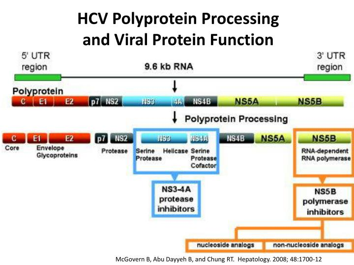 HCV Polyprotein Processing