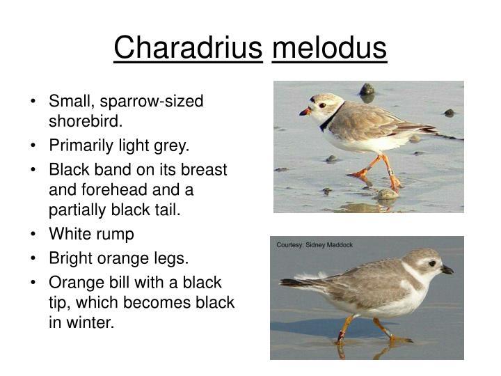 Charadrius
