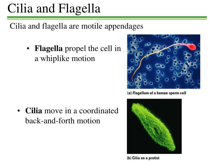 Cilia and Flagella