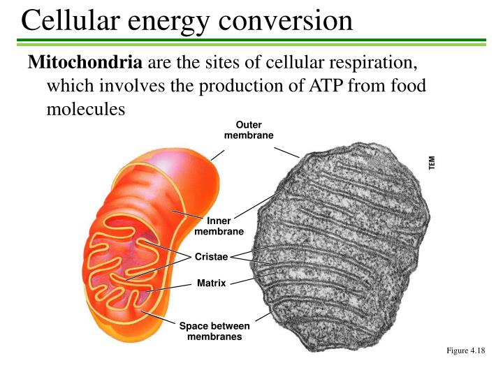 Cellular energy conversion