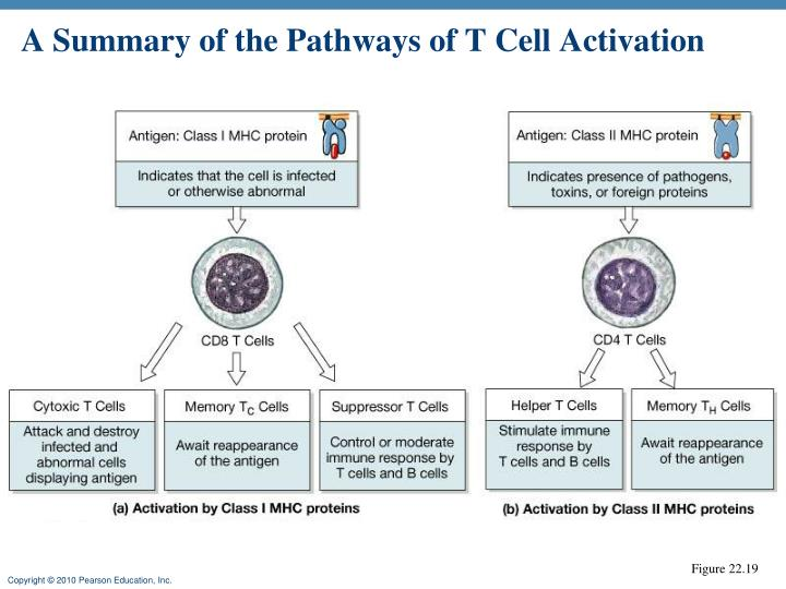 A Summary of the Pathways of T Cell Activation