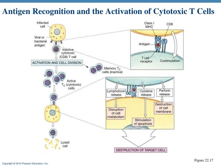 Antigen Recognition and the Activation of Cytotoxic T Cells