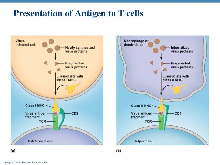 Presentation of Antigen to T cells