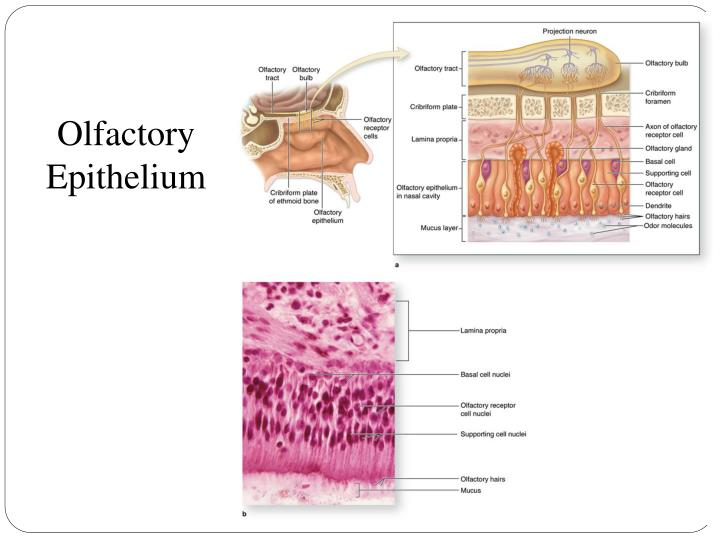 21 The Respiratory System Flashcards  Quizlet