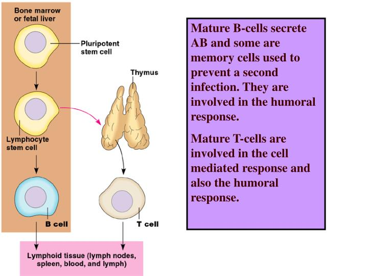 Mature B-cells secrete AB and some are memory cells used to prevent a second infection. They are involved in the humoral response.