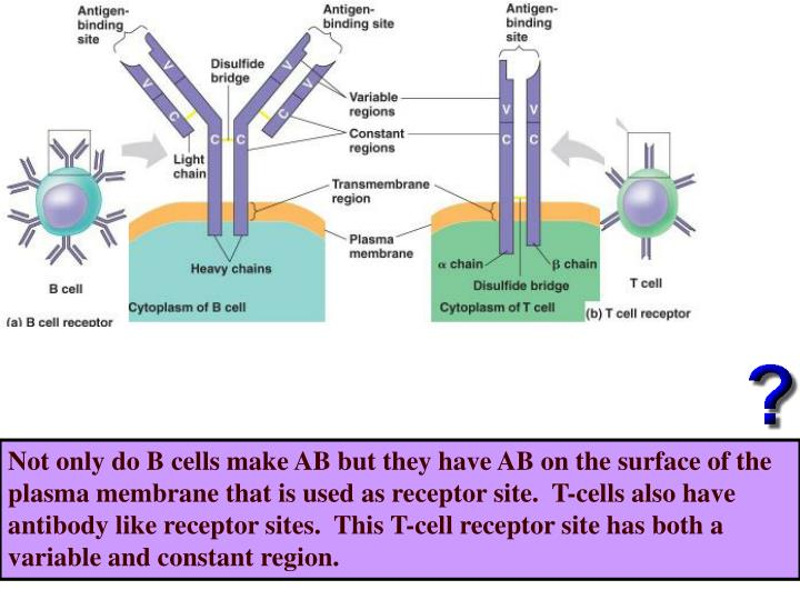 Not only do B cells make AB but they have AB on the surface of the plasma membrane that is used as receptor site.  T-cells also have antibody like receptor sites.  This T-cell receptor site has both a variable and constant region.