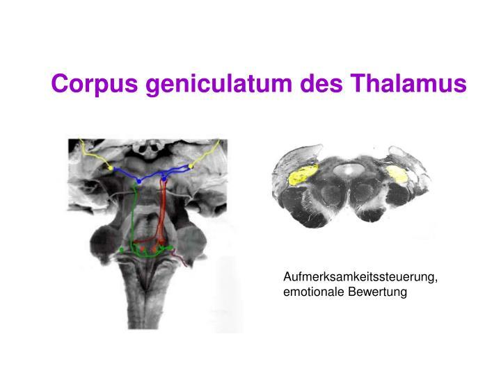Corpus geniculatum des Thalamus