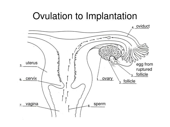 Ovulation to Implantation