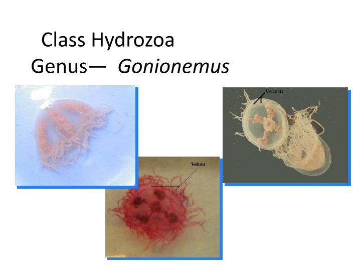 Class Hydrozoa