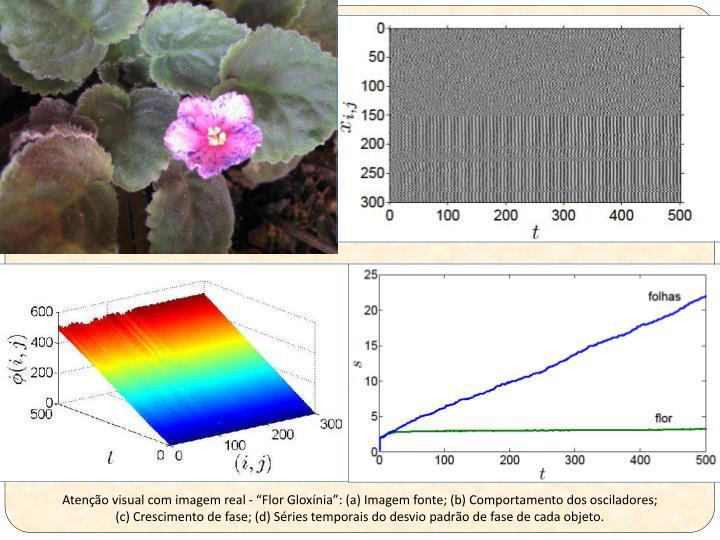 """Atenção visual com imagem real - """"Flor Gloxínia"""": (a) Imagem fonte; (b) Comportamento dos osciladores;"""