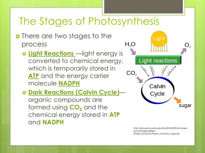 The Stages of Photosynthesis