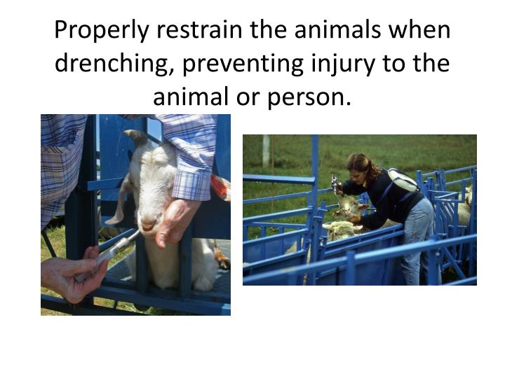 Properly restrain the animals when drenching, preventing injury to the animal or person.