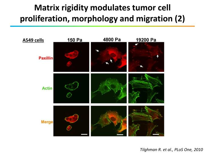 Matrix rigidity modulates tumor cell proliferation, morphology and