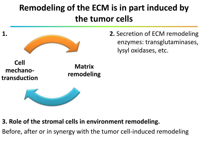 Remodeling of the ECM is in part induced by the tumor cells