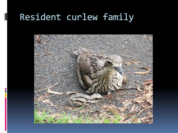 Resident curlew family