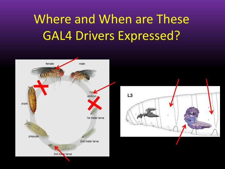 Where and When are These GAL4 Drivers Expressed?
