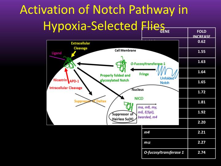 Activation of Notch Pathway in Hypoxia-Selected Flies