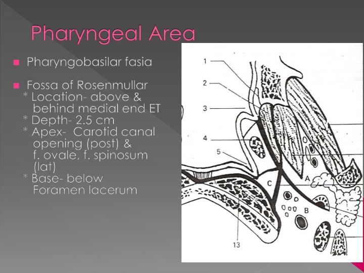 Pharyngeal Area