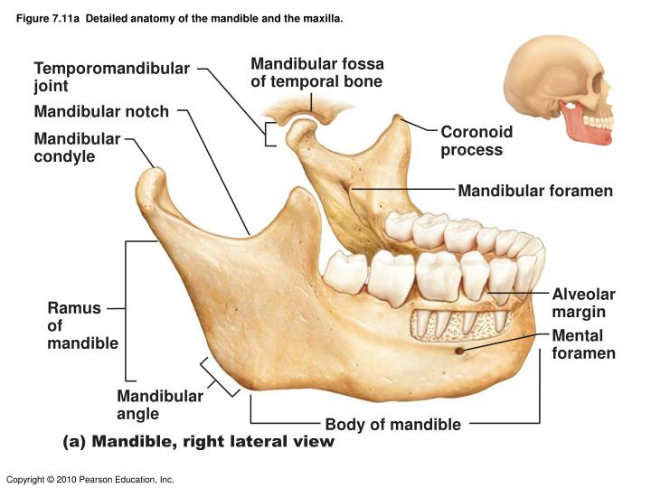 Figure 7.11a  Detailed anatomy of the mandible and the maxilla.