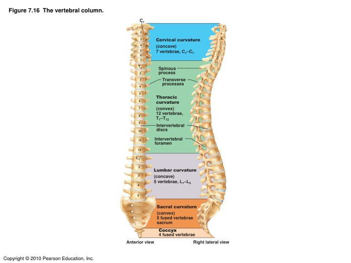 Figure 7.16  The vertebral column.