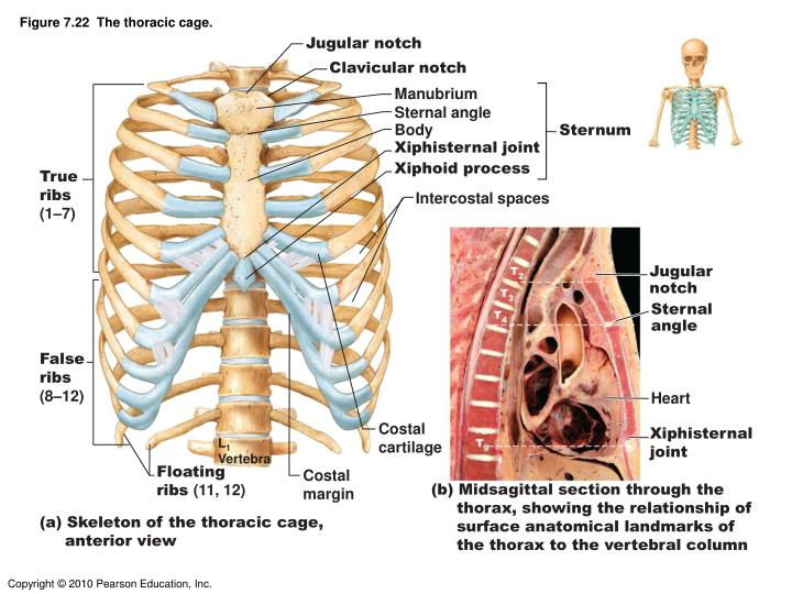 Figure 7.22  The thoracic cage.