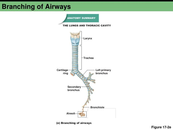 Branching of Airways