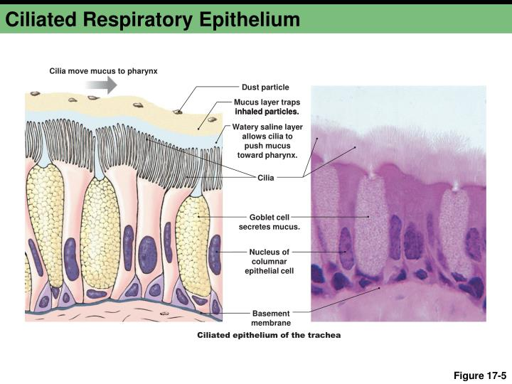 Ciliated Respiratory Epithelium