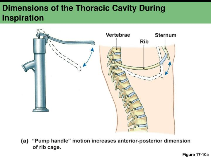 Dimensions of the Thoracic Cavity During Inspiration