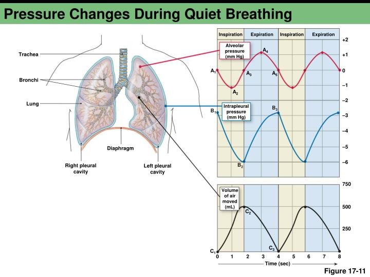 Pressure Changes During Quiet Breathing