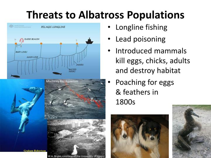 Threats to Albatross Populations