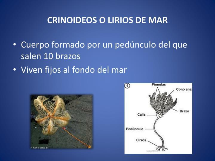 CRINOIDEOS O LIRIOS DE MAR
