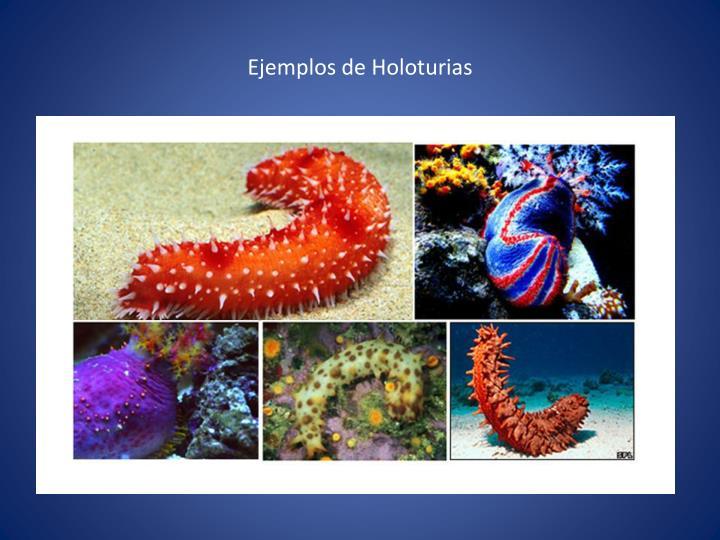 Ejemplos de Holoturias