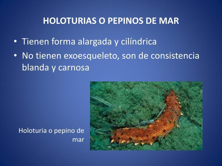 HOLOTURIAS O PEPINOS DE MAR