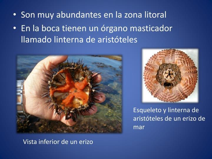 Son muy abundantes en la zona litoral