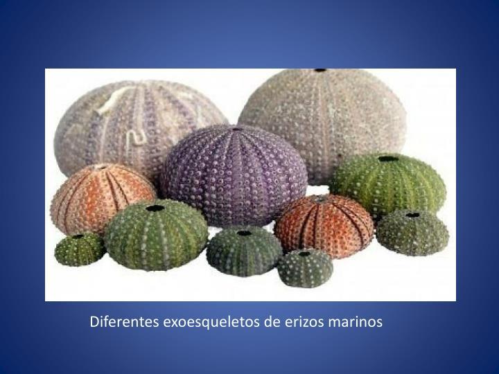 Diferentes exoesqueletos de erizos marinos
