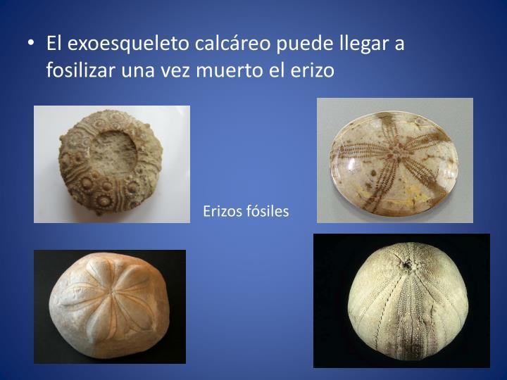 El exoesqueleto calcáreo puede llegar a fosilizar una vez muerto el erizo
