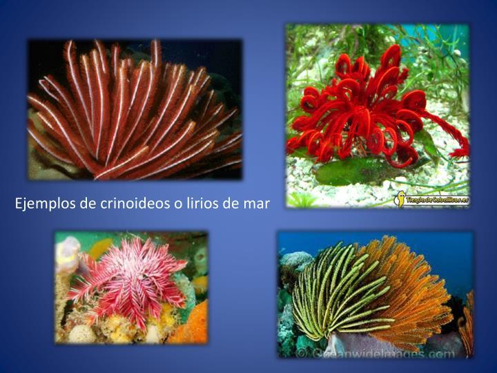 Ejemplos de crinoideos o lirios de mar