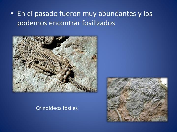 En el pasado fueron muy abundantes y los podemos encontrar fosilizados