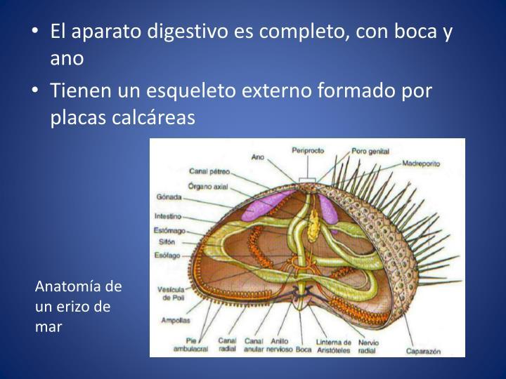 El aparato digestivo es completo, con boca y ano