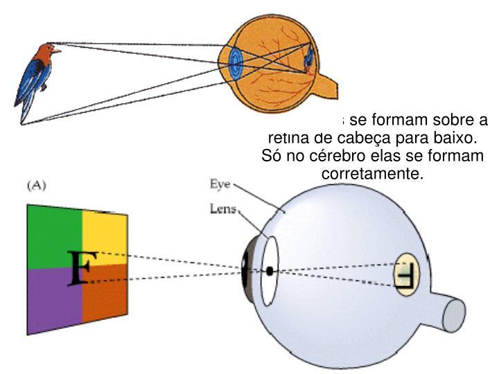 As imagens se formam sobre a retina de cabeça para baixo.
