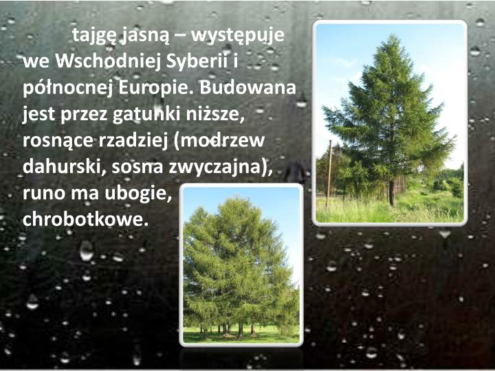 tajgę jasną – występuje we Wschodniej Syberii i północnej Europie. Budowana jest przez gatunki niższe, rosnące rzadziej (modrzew