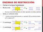 enzimas de restricci n2