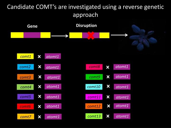 Candidate COMT's are investigated using a reverse genetic approach