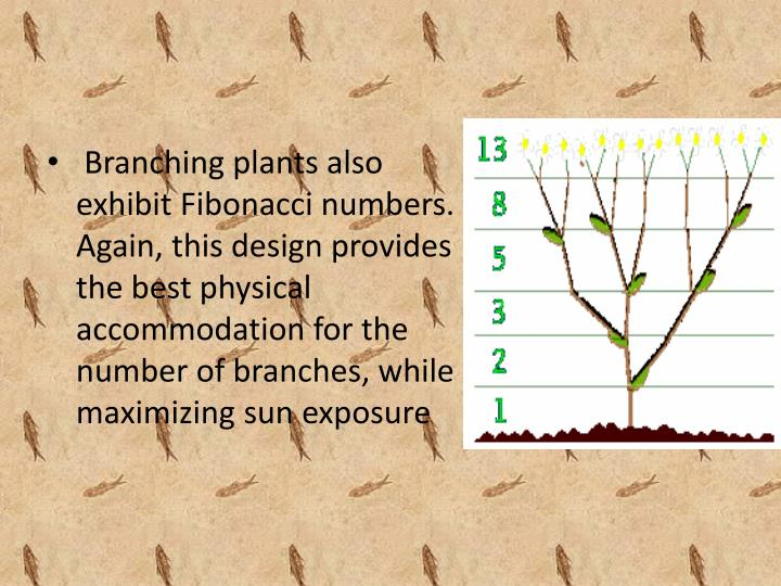 Branching plants also exhibit Fibonacci numbers. Again, this design provides the best physical accommodation for the number of branches, while maximizing sun exposure