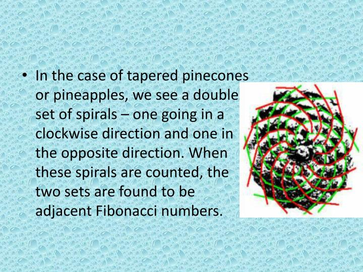 In the case of tapered pinecones or pineapples, we see a double set of spirals – one going in a clockwise direction and one in the opposite direction. When these spirals are counted, the two sets are found to be adjacent Fibonacci numbers.