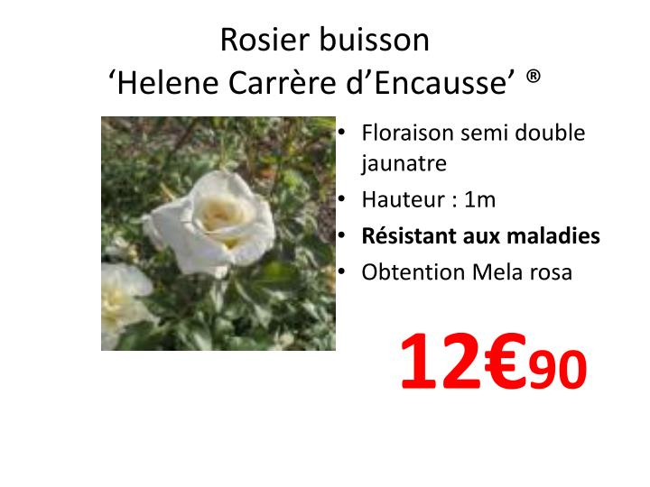Rosier buisson