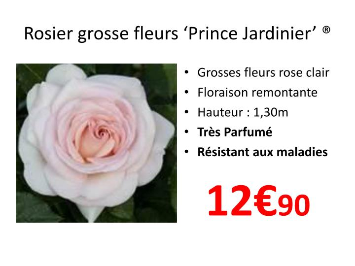 Rosier grosse fleurs 'Prince Jardinier'